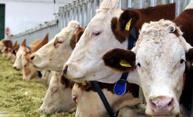 Sarhoş sığırlar, kaçak içki saklayan çiftçileri ele verdi