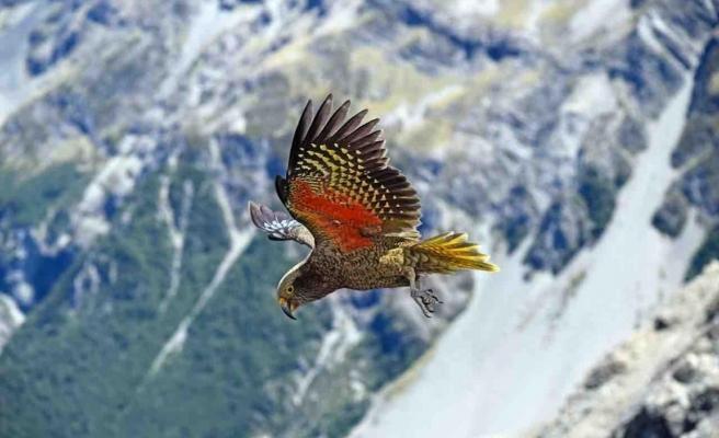 Seni O Kadar İyi Anlıyorum ki... Dağda Yaşayan Tek Papağan Türünün Aslında İnsanlardan Kaçtığı Ortaya Çıktı
