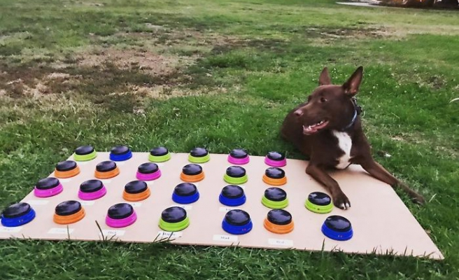 Ses Butonlarını Kullanarak Konuşmayı Öğrenen Köpeğin İsteklerini Söylemek İçin Cümle Kurduğu Efsane Anlar