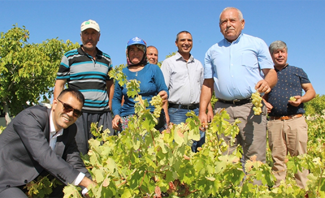 Silifke'de bin 800 rakımda sofralık üzüm hasadı başladı