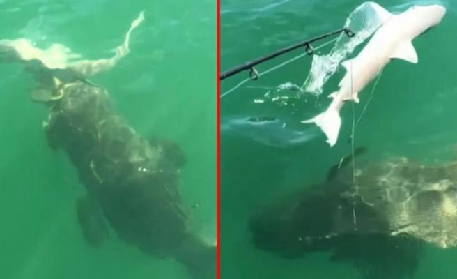 Suyun içinde tehlikeli anlar Bir anda fırlayan dev yaratık, köpek balığını oltadan kaptı