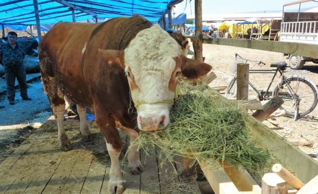 Tokat'ta, 1.4 tonluk 'Şampiyon' pazarın gözdesi