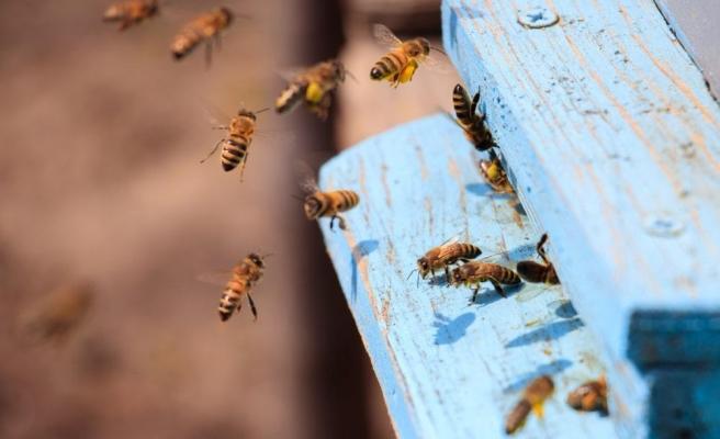 Topluca Ölümler Başladı: Güney Afrika'da Arılar Arasında Yeni Bir Hastalık Yayılıyor