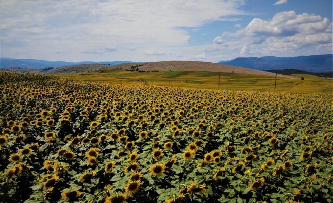 Uçsuz bucaksız tarlalar sarıya boyandı, kartpostallık manzaralar ortaya çıktı