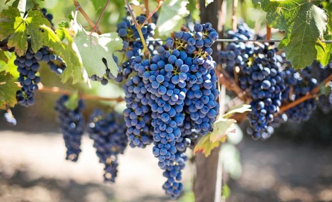 Uzaya Gönderilen Şarap ve Üzüm Asmaları Dünya'ya Geri Dönüyor