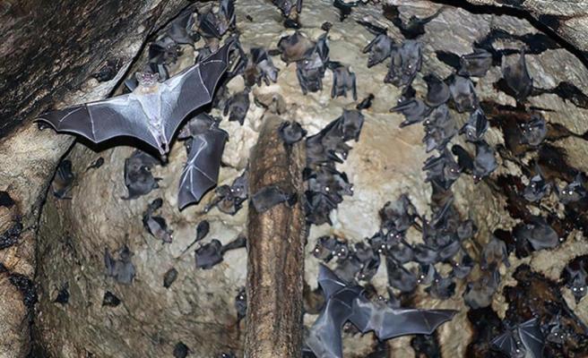 Yarasalarda görülen koronavirüslerin soy ağacında yeni bir dala rastlandı