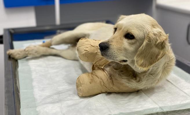'Yaşaması Bir Mucize': Patileri Kesilen Yavru Köpek Hayati Tehlikeyi Atlattı