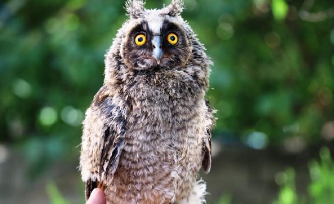 Yolda bulduğu yavru baykuşu önce besledi sonra yetkililere teslim etti