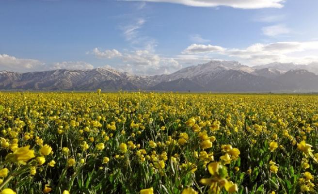 Yüksekova'da sarı çiçekler hayran bıraktı