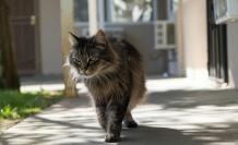 Sıçan İstilası Altındaki Şikago'da Bir Barınak, Sokak Kedilerinden 'Ekip' Kurdu