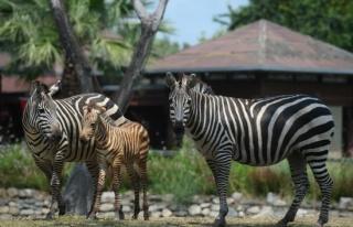 Zebra yavrusu ilgi odağı oldu