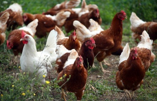 Fransa'da Tavuklar, Kümese Saldıran Tilkiyi Gagalayarak...