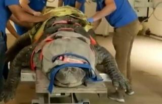 ABD'de 3,5 metrelik timsahın tedavi görüntüleri...
