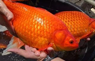 ABD'de göletlere bırakılan Japon balıkları istilacı...