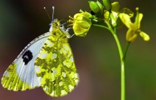 Adım adım gezdiği doğada 150 tür kelebeği fotoğraflamayı...