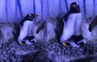 Akvaryum'da 2. bebek penguen de dünyaya gözlerini...