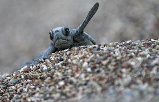 Antalya'da Caretta Caretta Yavrularının Zorlu Deniz...