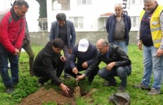 Aydınlı çiftçilere 2 bin 700 incir fidanı
