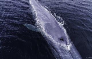 Balinaların avcılarla