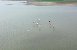 Başkent'in renkli misafirleri flamingolar Mogan Gölü...