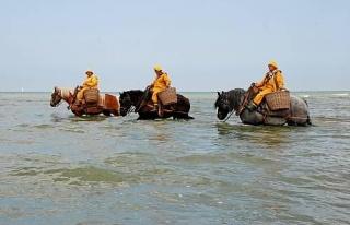 Belçika'da Atlara Binip Okyanustan Karides Toplayarak...