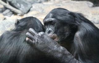 Bonobo ve Şempanzelerin Birbirlerine Selam Verip...