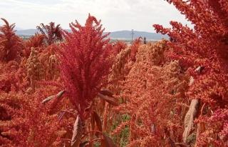 Bu bitki çölyak ve kanser hastaları için adeta...