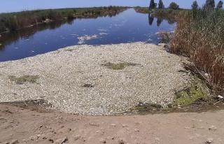 Büyük Menderes'te toplu balık ölümleri tedirgin...