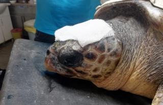 Çanakkale'de yaralı bulunan Caretta tedaviye alındı