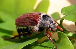 Fındıkta 'mayıs böceği' sorunu