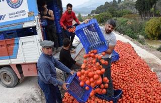 Fiyatı 50 kuruşa düşen domates üreticinin elinde...
