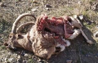 Hakkari'de dağ keçisi ölü bulundu