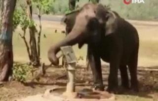 Hindistan'da doğal kaynak bulamayan fil, su içmek...