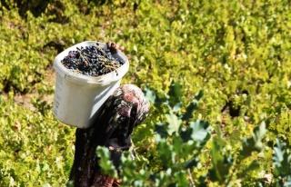 Hizan'da geleneksel yöntemlerle bir asırdır üzüm...