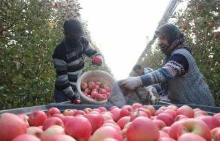 Karaman'da günlük 13 bin kişi elma toplamaya...