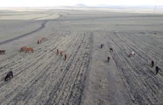 Kars'ta yılkı atlarının yem bulma mücadelesi