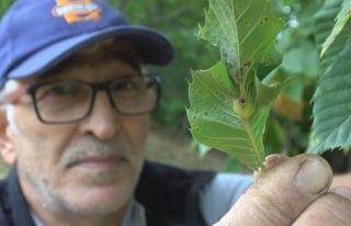 'Katil gal arısı' tehdidi büyüyor: Bartın ve...