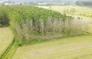 Kavak üretimi tehlikede: Ağaçlar kuruyor