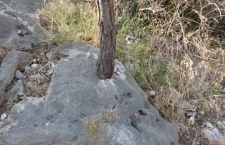 Kayada hayat bulan ağaçlar korumaya alındı