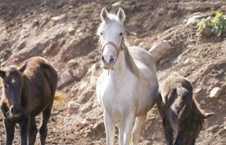 Kayıp Atlarla İlgili Yeni İddia: 'Birçoğu Irak'a...