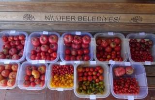 Kent Bostanları'nda 34 çeşit domates, 24 çeşit...