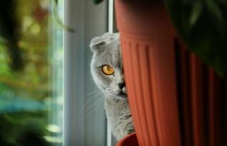 Komünistlere karşı casus kediler