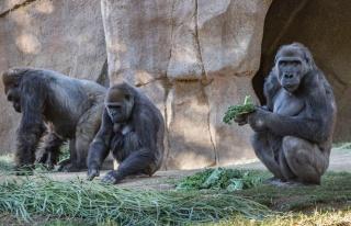 Öksürük Başlayınca Test Yaptılar: Gorillerde...