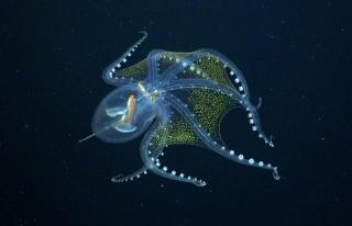 Okyanusta Nadir Rastlanan 'Cam Ahtapot' Görüntülendi