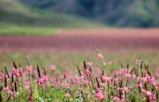 Pembe ve yeşilin buluştuğu çiçek tarlası hayranlık...