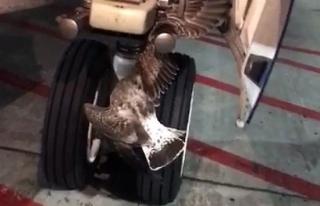Rus uçağının iniş takımlarına kuş sıkıştı