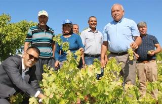 Silifke'de bin 800 rakımda sofralık üzüm hasadı...