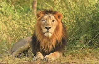 Sıra Onlara Geldi: Hindistan'da 8 Aslanın Koronavirüs...