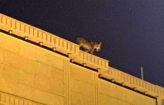 Suudi Arabistan'da evin çatısında dolaşan aslan...