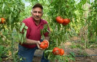 Tanesi ortalama 1 kilo geliyor, bu domatesler ağırlıklarıyla...